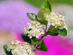 Marja-aronia on monipuolinen pensas – kaunis katsella keväästä syksyyn. Marjatkin ovat käyttökelpoisia.