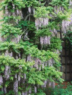Growing and Training Wisteria  Big and beautiful, wisteria is the queen of climbers. Here, get tips for developing a beautiful plant and controlling its vigor.