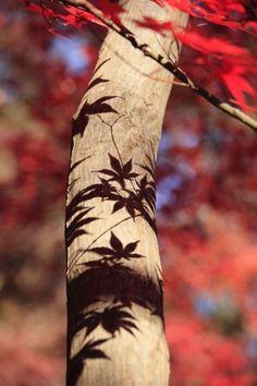 Ce tronc me fait une bonne impression... / Ombre d'érable du Japon. / Japanese maple shadow.