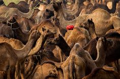 A camel fair in the town of Pushkar in Rajasthan, India Picture: Chaitanya Deshpande of London Photography Competitions, Photography Contests, Rajasthan India, Big Picture, Optical Illusions, Camel, London, Nature, Pictures