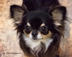 Isn't one of these you die for? Deer Chihuahua, Long Haired Chihuahua, Chihuahua Puppies, Cute Puppies, Cute Dogs, Dogs And Puppies, Doggies, Dog Facts, Mundo Animal