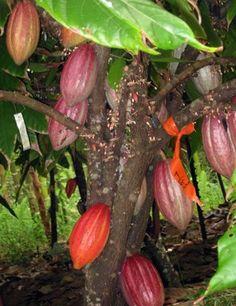 Kauaii, chocolate (cacao farm)