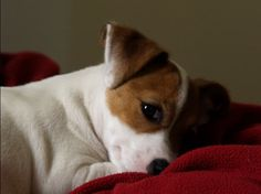 Cute Jack Russell Terrier Puppy