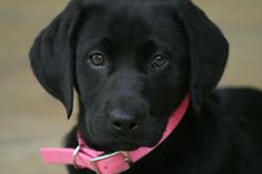 Izzy - Black Lab #Puppy by uptonia, via Flickr