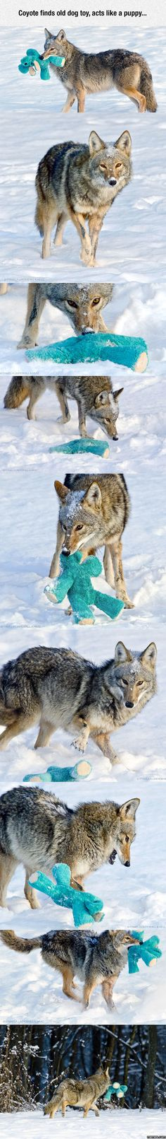 Coyote Acting Like A Puppy Again