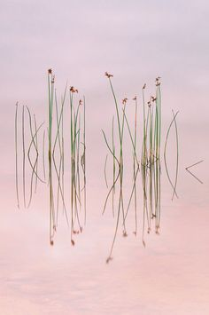 'Reeds reflection' - by photographer Yan Zhang <> (pink, color)