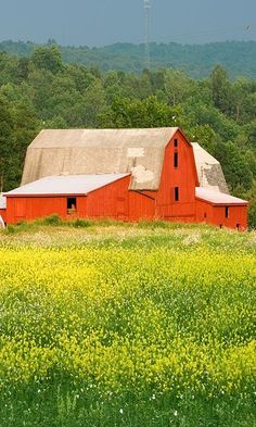 Barn & Golden Rod...