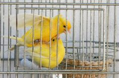 Canary Birds, Serin, Beautiful Creatures, Animals And Pets, Parrot, Thundercats, Popular, Cook, Flower