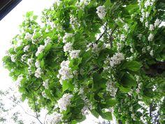 【境内の様子】平成22年6月21日、斎館北側のキササゲの木です。満開になりました。