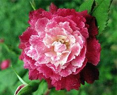 ~Rosa serratipetala (discovered in France, 1912)