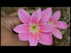 Zephyranthes carinata, commonly known as the rosepink zephyr lily or pink rain lily,is a perennial flowering plant native to Mexico, Colombia and Central Ame. Garden Plants, Lily, Flowers, Orchids, Royal Icing Flowers, Lilies, Flower, Florals, Floral