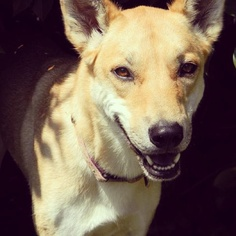 """""""Hi! My name is Delilah and I am a Carolina Dog, also called an American Dingo. We are the native pariah dog of the United States. I am three years old and I love chasing rabbits, digging holes and having a good chew! My cozy bed and family is certainly different from when my ancestors lived with the Native Americans but I wouldn't trade it, especially all the great treats."""" #carolinadog #dog #cutedogs // BestBullySticks.com"""