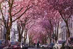 For two to three weeks each spring, the magical tunnel created by the trees lining Cherry Blossom Avenue in Bonn, Germany, brings in tourists and photographers alike.