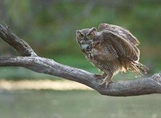 Great Horned Owl (Bubo virginianus) - A Water-Loving Owl | Show Me Nature Photography