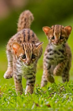 Leopard Cat Kittens by Ashley Vincent-one of the source breeds for the Bengal cat breed.