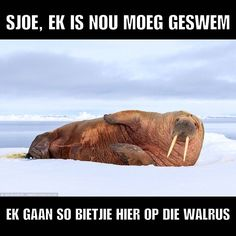 As a public holiday should be! #youthday #walrus #publicholiday #shit_sa_say