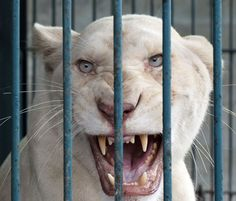 white-lion.jpg (1000×855)
