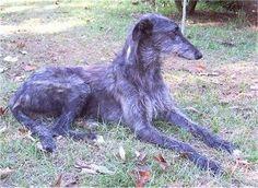 Image result for deerhound