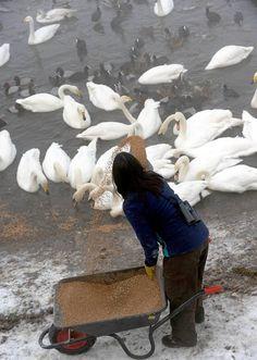 Feeding the swans in winter