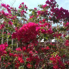 Trinitaria flowers in the backyard :)