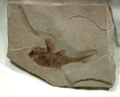 Bear Gulch Fossil Fish Fossil Echinochimaera