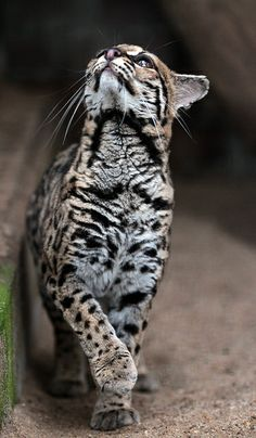 theanimaleffect:  Margay artis IMG_0145 by j.a.kok on Flickr.༺ ♠ ŦƶȠ ♠ ༻