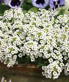 Carpet Of Snow Alyssum Seeds and Plants, Annual Flower Garden at Burpee.com