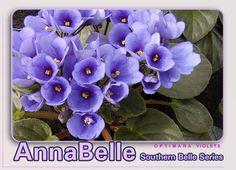 Southern Belle African violet