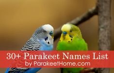 Need help naming your parakeet? Here are five of the best parakeet names for your new feathered friend! Parakeet Names, Parakeet Food, Budgie Parakeet, Male Names List, Female Pet Names, Birds Name List, Parakeet Talking, Names