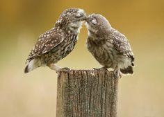 fotografia duas corujas - Pesquisa Google