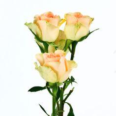 Spray Roses - Chablis - 100 Stems - Sam's Club