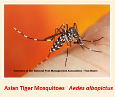 """Are you aware that the Asian Tiger Mosquito is an exotic species that gets its """"tiger"""" name from the single white stripe down the center of its head and back ??"""