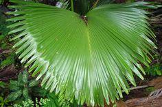 Giant leaf in Vallée de Mai