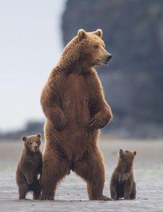 Anne ile ikiz boz ayılar