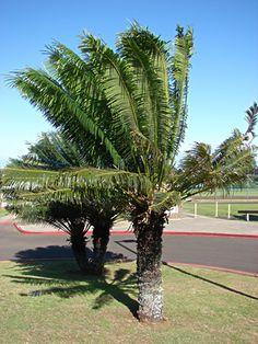 Cycas circinalis - Palmeira-sagu, Cica,  Palmeira-samambaia - Apesar do nome e aspecto, ela não tem parentesco com as palmeiras nem com as samambaias. Pertence a uma família de plantas com características pré-históricas. Tem altura de 4.7 a 6.0 metros. No jardim a palmeira-sagu geralmente ganha lugar de destaque, como ponto focal. Deve ser cultivada sob sol pleno ou meia sombra.