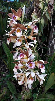 Copyright:Orquídeas Com Amor Beautiful Flowers, Amazing Flowers, Planting Succulents, Brown Flowers, Beautiful Orchids, Orchidaceae, Plants, Rare Flowers, Planting Flowers
