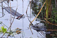 Alligator de Floride FD Voyages 08/2014