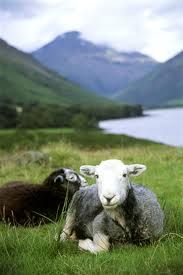 Cumbrian Herdwick sheep