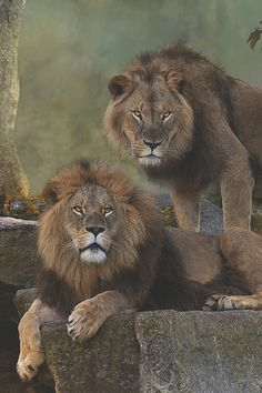 visualechoess:Two Lion Brothers: Benny & Max by: Sonja Probst African Cats, African Animals, Nature Animals, Animals And Pets, Cute Animals, Beautiful Cats, Animals Beautiful, Big Cats, Cute Cats