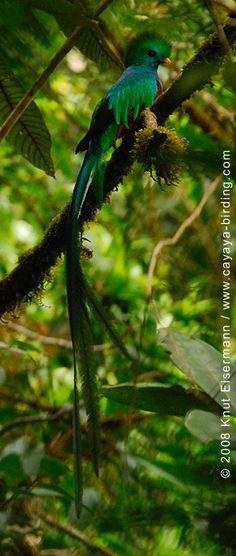 Resplendent Quetzal Se merecia estar en esa BANDERA que representa a su NACIÓN