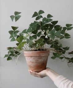 Indoor plants pictures – cozy decoration ideas with potted plants – House Plants Green Plants, Potted Plants, Indoor Plants, Indoor Herbs, Air Plants, Cactus Plants, Plantas Indoor, Oxalis Triangularis, Plants Are Friends