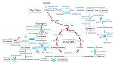 Amino acid metabolism - Metabolism and hormones - Diapedia, The Living Textbook of Diabetes Citric Acid Cycle, Amino Acids, Pathways, Metabolism, Textbook, Diabetes, Health, Salud