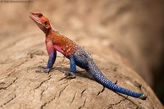 the mwanza flat headed agama a lizard found in tanzania
