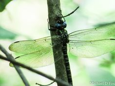 Swamp Darner observed by mchlfx.  My first swamp darner.  Dang!  These things are huge!