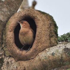 Hornero. Pájaro nacional argentino