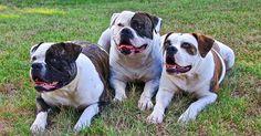 El bulldog americano es una raza canina originaria en el sureste de Estados Unidos y es descendiente del Bulldog inglés.