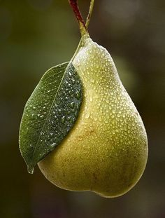 dew drops in pera Fruit And Veg, Fruits And Vegetables, Fresh Fruit, Photo Fruit, Pyrus, Fruit Photography, Beautiful Fruits, Pear Trees, Delicious Fruit