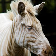White Zebra photo. This link takes you to a YouTube video of Zoe http://www.youtube.com/watch?v=Kt3uQcxNltk