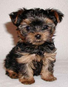 So cute! I love yorkies.