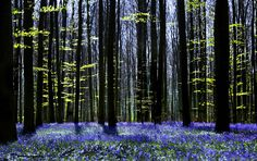 """Millions of bluebells - """"I have spread my dreams beneath your feet. Tread softly because you tread on my dreams, ~ quote by W.B. Yeats. Photo #9 by Anneka"""